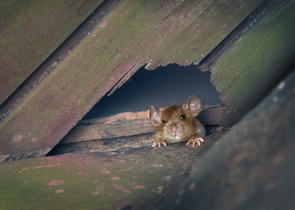 rodent looking through hole in the attic wall